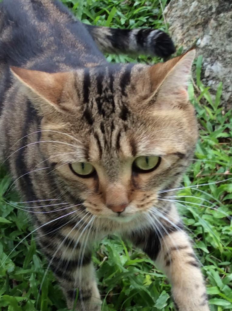 Tiger (Alina, Karon - Thaïlande)